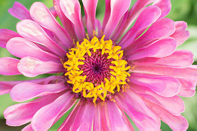 Hot Pink Zinnia Art Print
