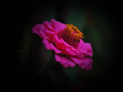 Photograph - Hot Pink Zinnia by MTBobbins Photography