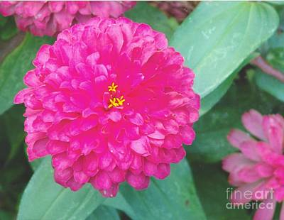 Photograph - Hot Pink Zinnia by Rod Ismay