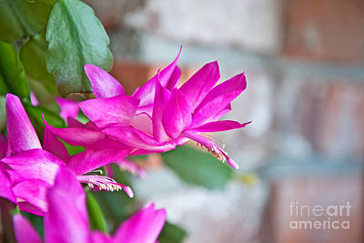 Photograph - Hot Pink Christmas Cactus Flower Art Prints by Valerie Garner