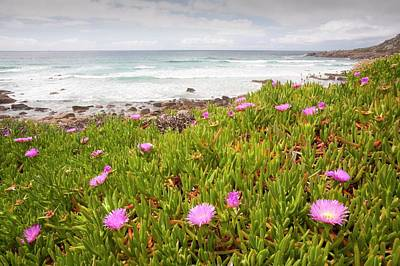 Sennen Photograph - Hottentot Fig by Ashley Cooper