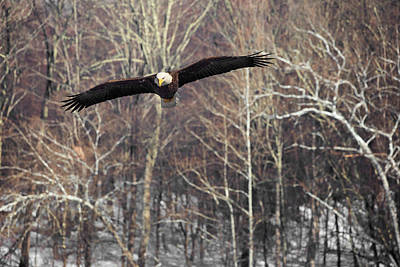 Eagle In Flight Photograph - Housatonic River Eagle by Bill Wakeley