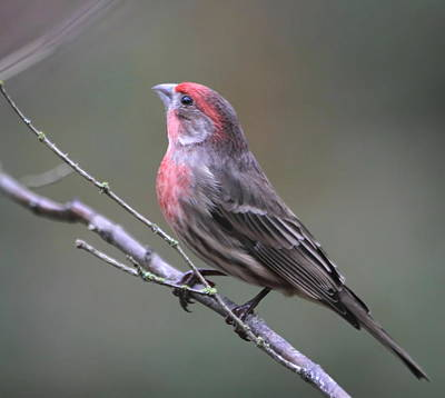 Photograph - House Finch by Angie Vogel