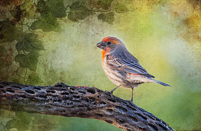 Photograph - House Finch by Barbara Manis
