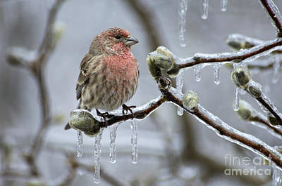 Photograph - House Finch - D008811 by Daniel Dempster