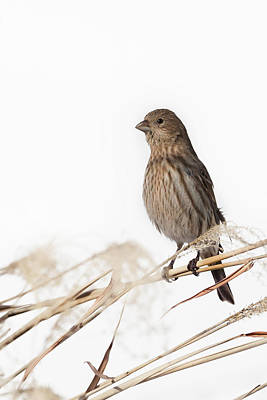 Finch Photograph - House Finch Female by Bill Wakeley