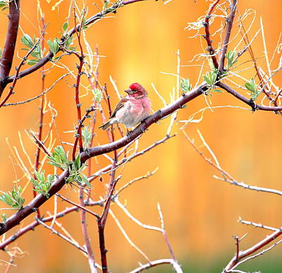 Photograph - House Finch by Floyd Tillery