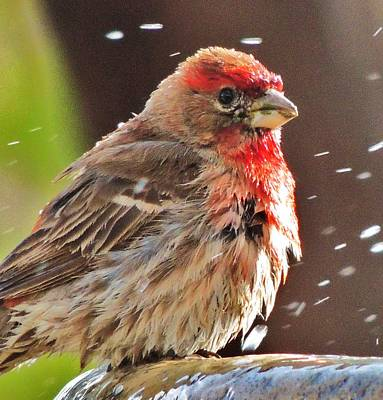 Photograph - House Finch by Helen Carson