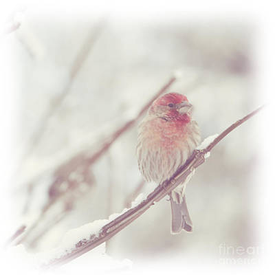 Photograph - House Finch In Winter by Heidi Hermes