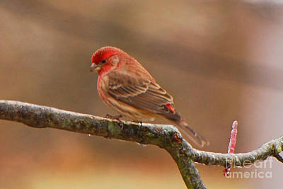 Photograph - House Finch by Mary Carol Story