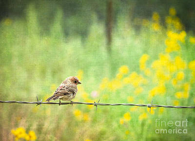 Photograph - House Finch On Barbed Wire by Marianne Jensen