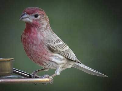 Photograph - House Finch by Penny Lisowski