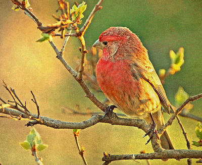 Photograph - House Finch by Sandy Keeton