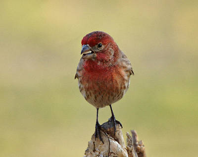 Finch Photograph - House Finch With Seed by Sandy Keeton