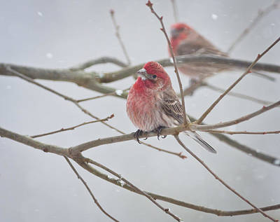 Photograph - House Finches In The Snow by Melinda Fawver