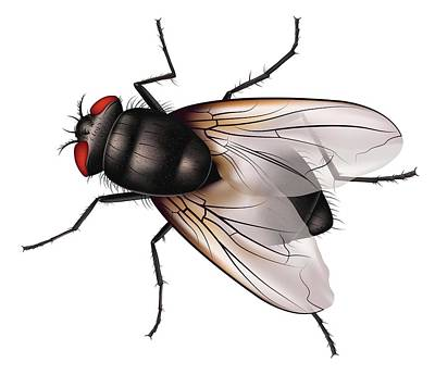 Housefly Wall Art - Photograph - House Fly by Ella Maru Studio / Science Photo Library