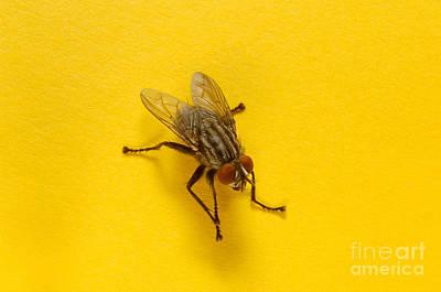 Housefly Wall Art - Photograph - House Fly by Novastock