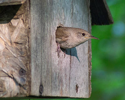 Photograph - House Sitting House Wren by Bill Pevlor