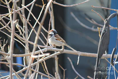 Photograph - House Sparrow by Ann E Robson