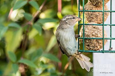 Studio Grafika Zodiac - House Sparrow female on a feeder in my backyard by Jivko Nakev