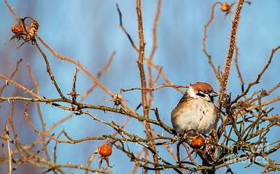 Art Print featuring the photograph House Sparrow by Rose-Maries Pictures