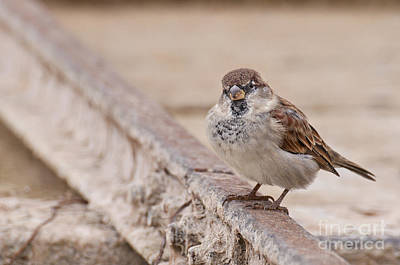 Photograph - House Sparrow by Simona Ghidini