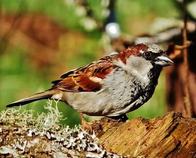 Photograph - House Sparrow by VLee Watson
