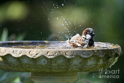 House Sparrow Washing Art Print by Tim Gainey