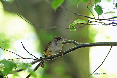 Photograph - House Wren    Iv by Margie Avellino