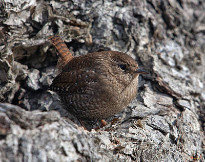 Photograph - Winter Wren Dsb188 by Gerry Gantt