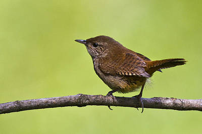 Adorable Photograph - House Wren by Marcia Colelli