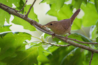 Photograph - House Wren Snack by Bill Pevlor