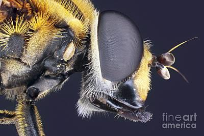 Housefly Wall Art - Photograph - Housefly Head by Frank Fox