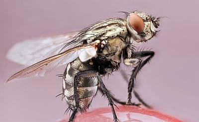 Housefly Wall Art - Photograph - Housefly by Nicolas Reusens