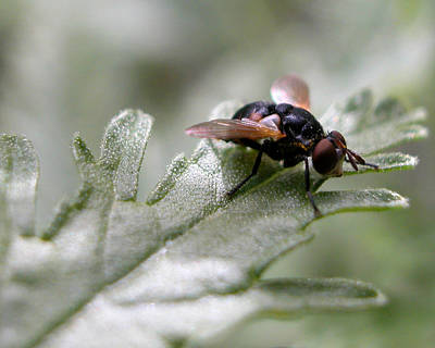 Photograph - Housefly On Russian Sage by Rob Huntley