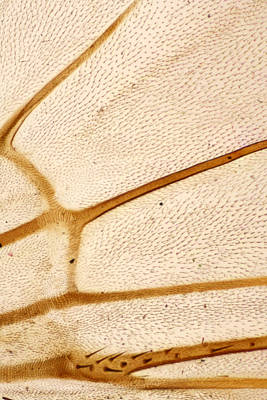 Housefly Wall Art - Photograph - Housefly Wing, Lm by Science Stock Photography