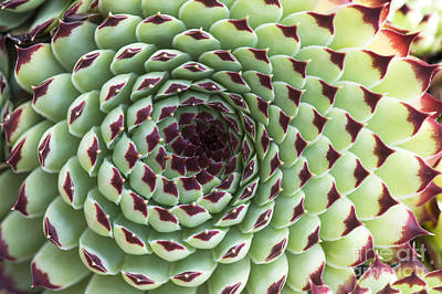Succulent Photograph - Houseleek Pattern by Tim Gainey
