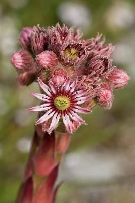 Houseleeks Photograph - Houseleek (sempervivum Tectorum) Flowers by Bob Gibbons