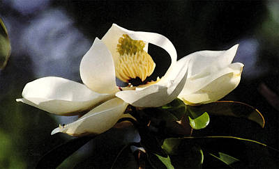 Houston Magnolia Art Print by Robert J Sadler