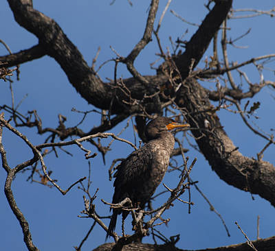 Photograph - Houston Wildlife Double Crested Cormorant  by Joshua House