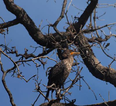 Houston Wildlife Double Crested Cormorant  Print by Joshua House