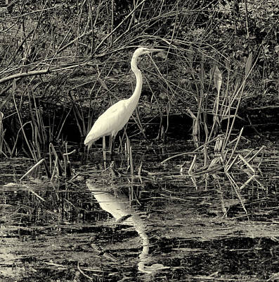 Photograph - Houston Wildlife Great White Egret Black And White by Joshua House