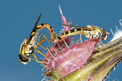 Hoverfly Wall Art - Photograph - Hover Flies Mating On A Flower by Dr. John Brackenbury/science Photo Library