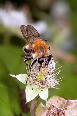 Hoverfly Wall Art - Photograph - Hover Fly Feeding On A Blackberry Flowers by Dr. John Brackenbury/science Photo Library