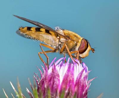 Hoverfly Wall Art - Photograph - Hover Fly Feeding On Knapweed Flower by Dr. John Brackenbury/science Photo Library