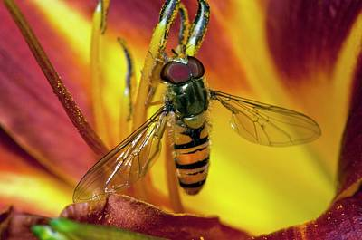 Hoverfly Wall Art - Photograph - Hover Fly On A Flower by Dr. John Brackenbury/science Photo Library