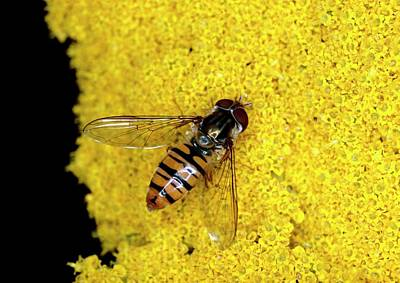 Hover Wall Art - Photograph - Hover Fly On A Flower by Tony Wood/science Photo Library
