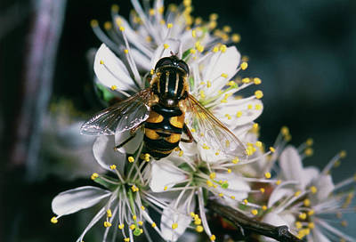 Hover Wall Art - Photograph - Hover Fly Pollinating American Plum by William Ervin/science Photo Library