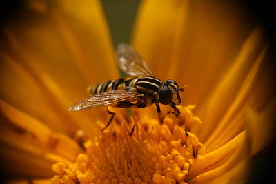 Photograph - Hoverfly Helophilus Pendulus by Tom Conway
