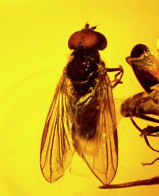 Resin Photograph - Hoverfly In Amber by Natural History Museum, London